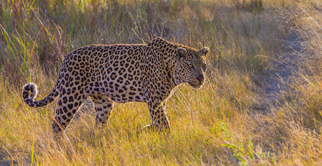 Male Leopard - Chobe National Park