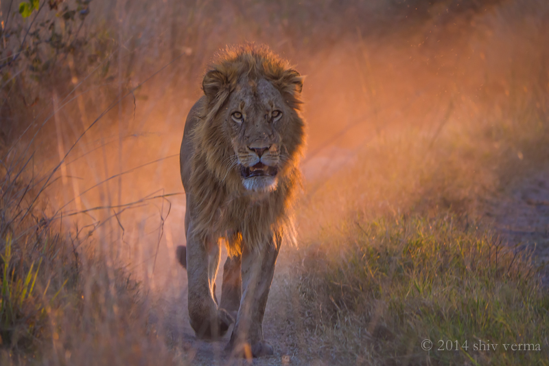 A lion at sunset.