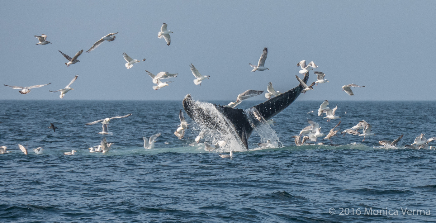 Humpback Whale Kick Feeding