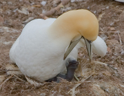 Gannet-with-Chick_-_Bonaventure_Quebec_(5)