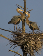 Herons_-_Rt2_Massachusetts