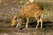 Spotted_Deer_-_Bandhavgarh_India