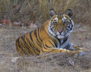 TigerCub_33_-_Bandhavgarh_India