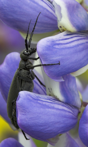 Blister_Beetle_on_lupine_-_Sugar_Hill_NH
