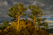 Pines_at_Sunset