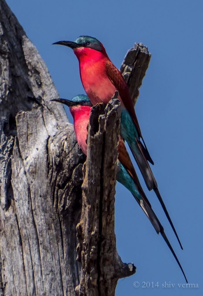 Southern Carmine Bee Eater - Panasonic Lumix GH4 with the Lumix 100 - 300 mm lens.  Exposure: f/6.3, 1/2000 sec at ISO 400