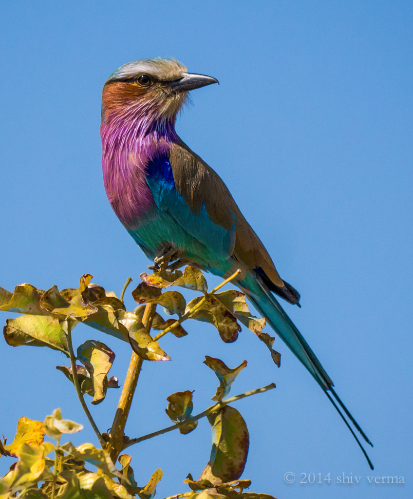 Lilac Breasted Roller, Botswana 2014