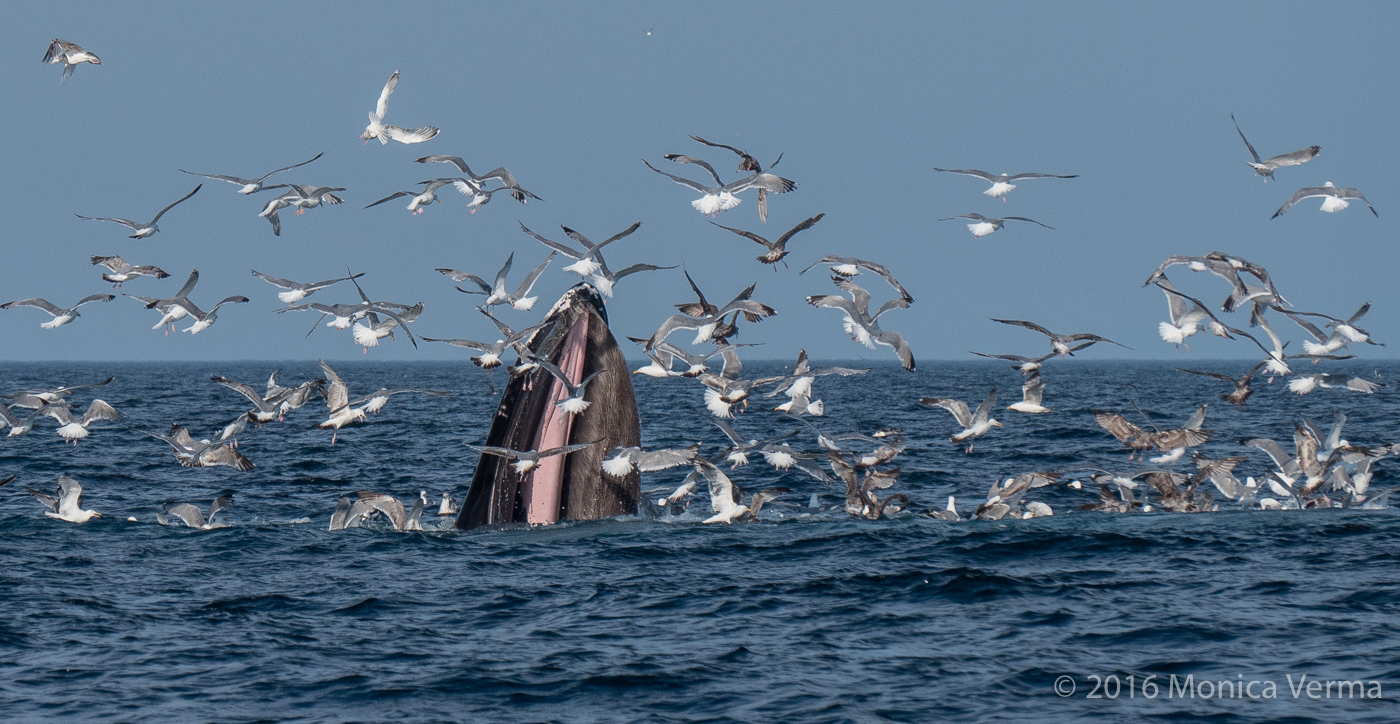 Humpback Whale Bubble Feeding while Gulls and Sheerwaters pluck fish out of the whales mouth.
