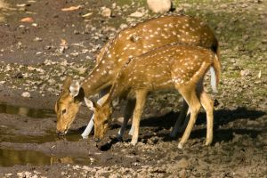 Spotted Deer - Bandhavgarh India.jpg