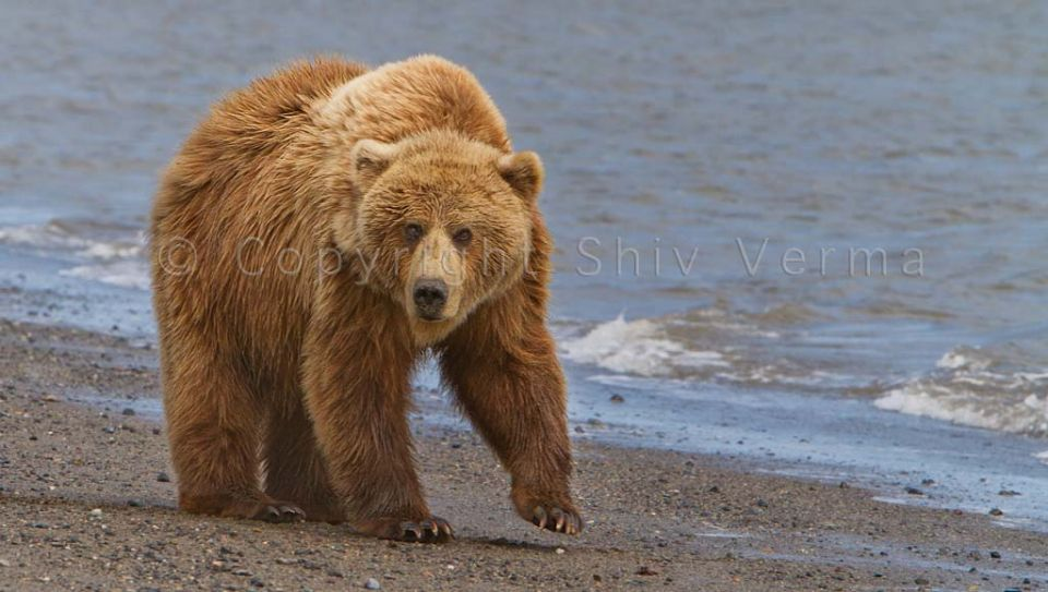 Brown Bear on the Beach GLPA.jpg