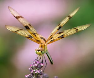 Halloween Pennant Dragonfly - Massachusetts.jpg