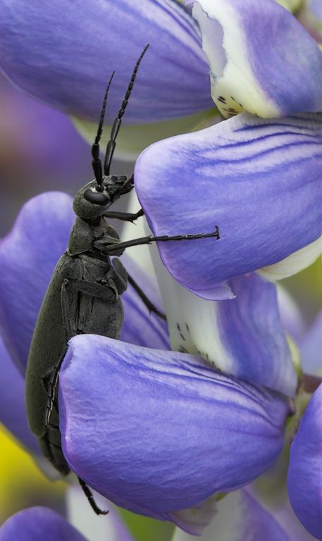 Blister Beetle on lupine - Sugar Hill NH.jpg