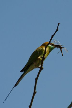 Bee Eater with dragonfly.jpg