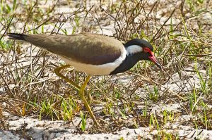 ddrc_2-18_Red-Faced Lapwing.jpg