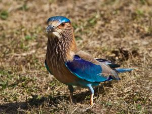 ddrc_2-19_Indian Roller Foraging.jpg