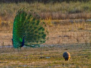 ddrc_2-20_Peafowl Courtship at Sunset.jpg