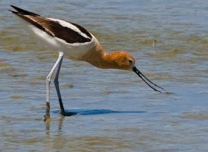 Avocet - Baylands CA.jpg