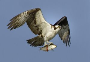 Osprey with fish - Damariscotta ME.jpg