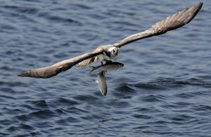 Osprey with two fish - Damariscotta ME.jpg