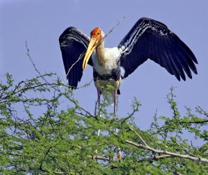 Painted stork with stick - Rajisthan India.jpg