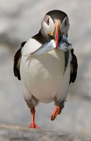 Puffin with Catch - Machias, ME.jpg